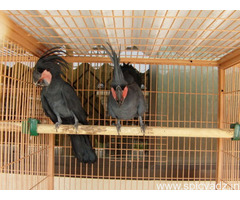 Black Palm Cockatoo Parrots for sale