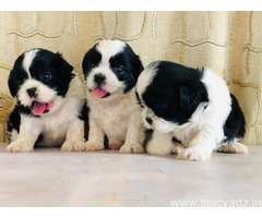 Shih tzu puppies for sale in Palanpur