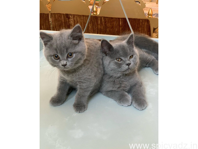 British Short Hair Cats for sale - 1