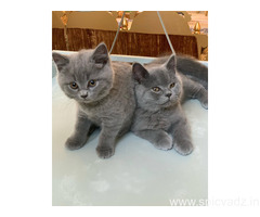 British Short Hair Cats for sale